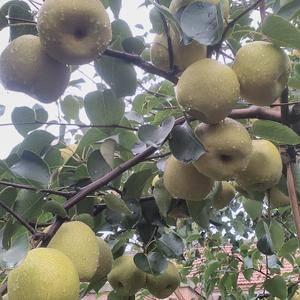 宁陵金顶谢花酥梨,20万亩基地,年产量3亿公斤以上。个大...