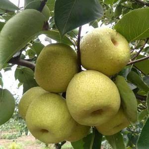 安徽砀山酥梨源产地大量上市了,日供货打包成品10万斤以上...