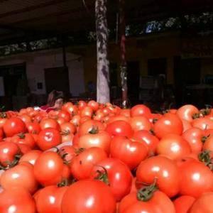 莘县西红柿现在已大量下来了,欢迎新老客户前来收购。...