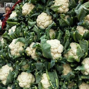 本地菜花大量上市中。15933888595微信同号