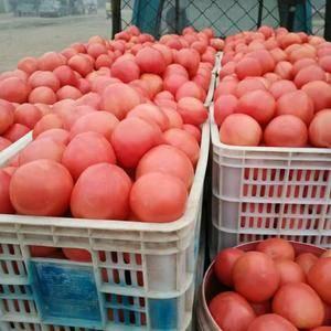 西红柿大量供应中需要的客户联系我15666739027
