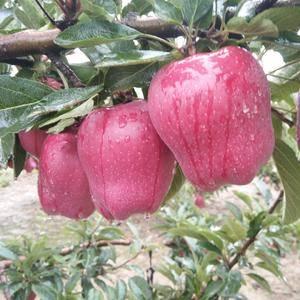 来自高原的花牛苹果,口感好,价格便宜,货源充足。欢迎订购...