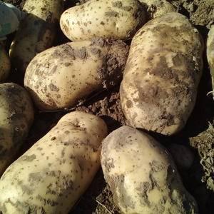 围场三区冀张薯,226土豆,大个土豆上车价0.45元。基...