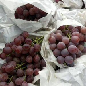 红提户太葡萄成熟,坐标,陕西咸阳礼泉,欢迎老板上门收购,...