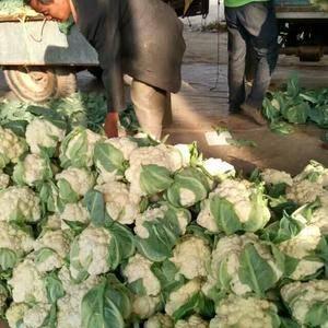 大量供应花菜质量好价格低有需要的客户与我联系长期合作15...