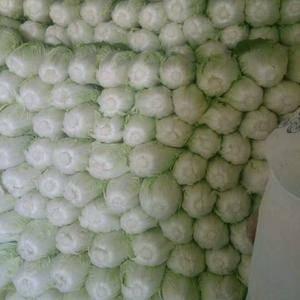 河南夏阳白菜,面积广,质量保证,耐运输,欢迎采购