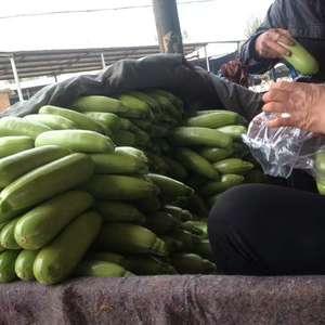 山东聊城蔬菜基地,现在西葫芦大量上市  欢迎新老客户到来...