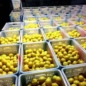 湖北宜昌夷陵区特早蜜橘大量上市,果型好,表面光滑,皮薄口...