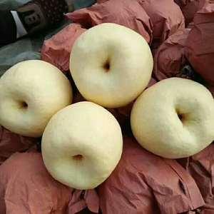 蒲城酥梨大量上市,有需要的联系13468997097