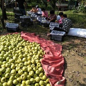 安徽砀山酥梨大量供应,驰名中外的砀山酥梨皮溥肉酥有止咳去...