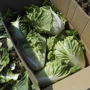 山东平阴夏阳白菜大量上市,可以按客户要求加工,装箱,装袋...