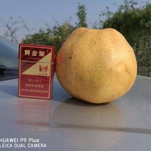 河南漯河晚秋黄梨大量上市,耐运输,耐储存,果型圆润,果面...