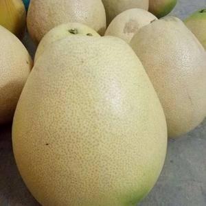 广西三红柚大量上市,欢迎各位老板现场观摩。