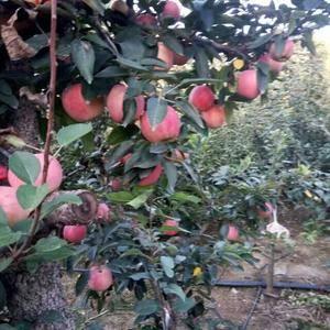 本地红星苹果,红将军苹果,大量上市了口干脆甜,颜色艳丽,...