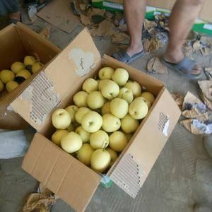 产地直销万亩皇冠梨,黄金梨大量批发,价格便宜货源充足,个...