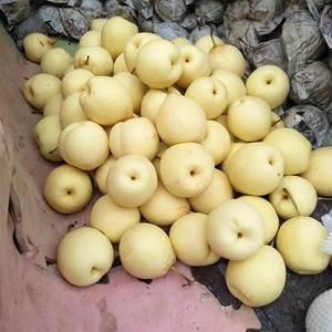 河北泊头鸭梨之乡大量供应皇冠梨、鸭梨。