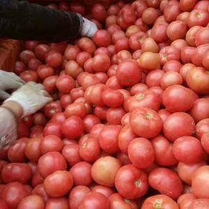 西红柿大量上市,
