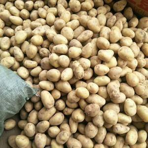 大量供应肥城库存土豆,货源充足,可持续供应