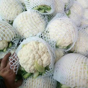 我地白菜花大量上市,现货已65到100天白菜花为主。本人...