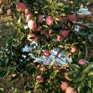 出售寒富苹果,每斤1.1元,联系电话1389781789...