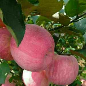 本基地长年供应优质红富士苹果,个大脆甜,货源充足质优价廉...