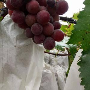 现有百亩葡萄刚开园上市