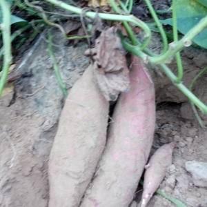 大量供应通货一两上的济薯26