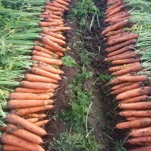 开封红萝卜大量上市,需要的联系