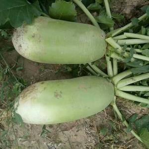 山西省忻州市曹张萝卜大量上市