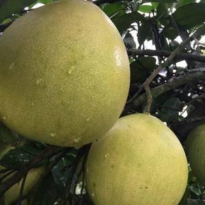 正值国庆佳节,柚子已经成熟,可有诚心求购者,欢迎咨询 ...