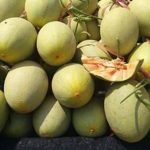 鲁西瓜果交易市场大量供应优质花蕾,脆梨,西周密,胶密25...