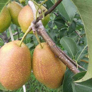 现存红香酥梨六十万斤,果型端正,色泽艳丽,甜脆无渣,交通...