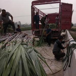 河南省商丘市千亩甘蔗基地已优质火热上市中,物美价廉,交通...