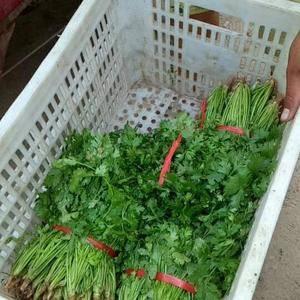 基地大量供应香菜。