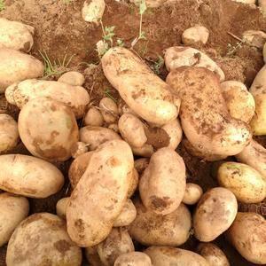 丽薯6号大量上市欢迎前来订购财富热线:139888724...