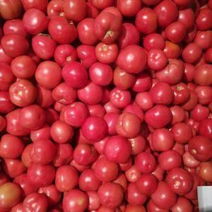 辽宁阜新硬粉西红柿大量上市,欢迎老板前来收购。