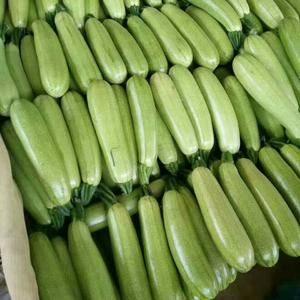 绿皮西葫芦大量上市