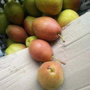 冷库红香酥梨子大量出售了,货源充足价格稳定。