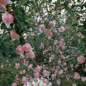 常年供应一年四季水果,红富士苹果已大量上市,颜色鲜艳口感...