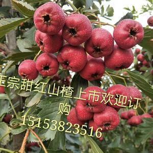 甜红山楂已上市,货源充足,保证质优,价廉,欢迎广大客商前...