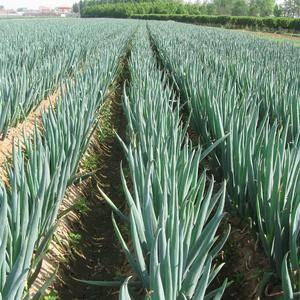 南阳数万亩大葱将于11月1号大量上市,本人常年丛事大葱剥...