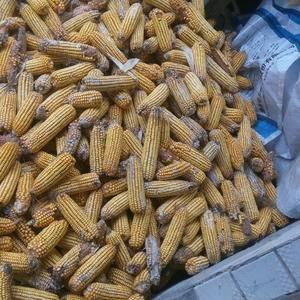 扶沟县江村镇玉米大面积上市,希望有实力的厂商或者收购商前...