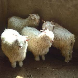 本合作社长年出售优质绒山羊,有繁育母羊,种公羊,糕羊,以...