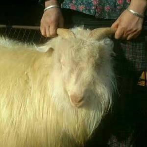 本合作社长年出售优质绒山羊,有繁育母羊,种公羊,糕羊,节...