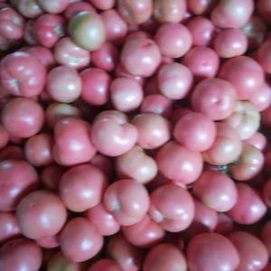 硬粉西红柿大量上市