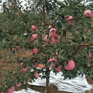 山东红富士苹果大量上市。纸袋,膜袋,纸加膜