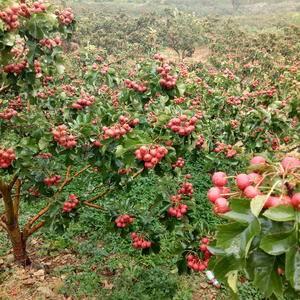 临朐大金星山楂上市果农自销18653600824