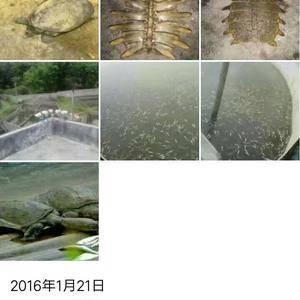 广东韶关翁源松塘排子山  仿野生甲鱼养殖7年的老鳖,欢迎...