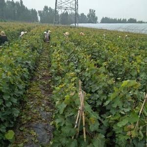 大量供应自家繁育葡萄苗,品种齐全,保证质量保证纯度,品种...