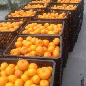 湖南湘西脐橙椪柑,果形端正,色泽橙黄带红润,口感香甜,含...